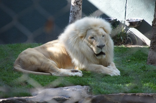 White lion Siegfried & Roy's Secret Garden & Dolphin Habitat