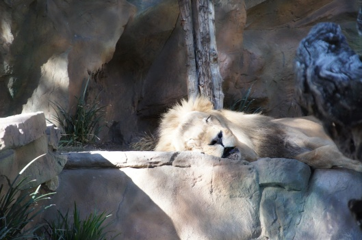Sleepy  lion Siegfried & Roy's Secret Garden & Dolphin Habitat
